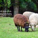 _ovelhas_mascotes_lahacienda